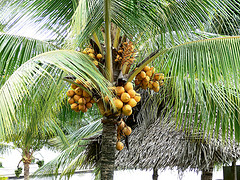 fruitful palm