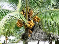 fruitful palm