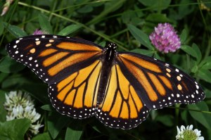 Photo by Kenneth Dwayne Harrelson. For copyright info: http://commons.wikimedia.org/wiki/File:Monarch_In_May.jpg