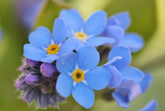 forget-me-not- 737408_640