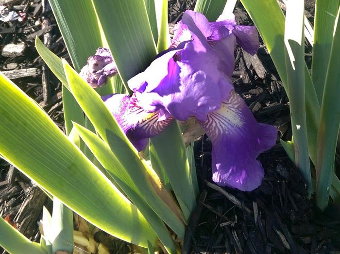 Fall Iris