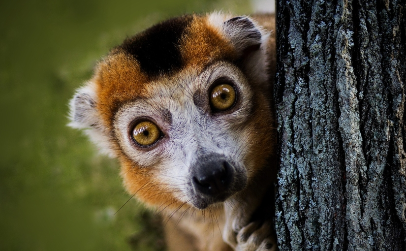 This little lemur has been surprised by something.